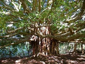 National Tree of India - Bargad, Banyan | Indian Culture, Indian Tradition, Indian People, Indian History, Indian  Business, Indian Education, Indian Tours and Travel, Indian Restaurants, Indian Bars, Indian Shaadi, Indian Headquarters, India Desire, Indian Entertainment, Movies, Bollywood, Health and Welfare, Insurance, Automotive, Computers, Electronics, Careers, Jobs, Tours, Travels, Shopping, Finance, Marketing, Advertising, Love Like Me, Food on Mood, Glaze Infomedia